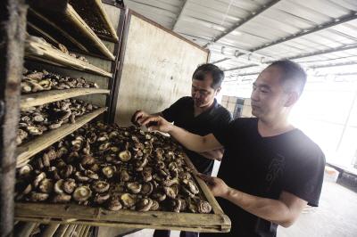 赵新德刚一上任,就和该村的脱贫项目——大棚种植蘑菇紧紧绑在一起。