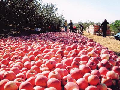 我市水果产业中树立了苹果、大樱桃等多个品牌。