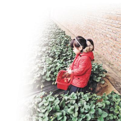春节采摘草莓别有趣味。